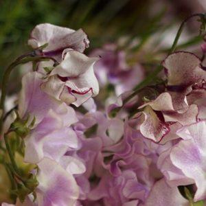 甘い香りを楽しんで春を待つ。スイートピーの楽しみ方。
