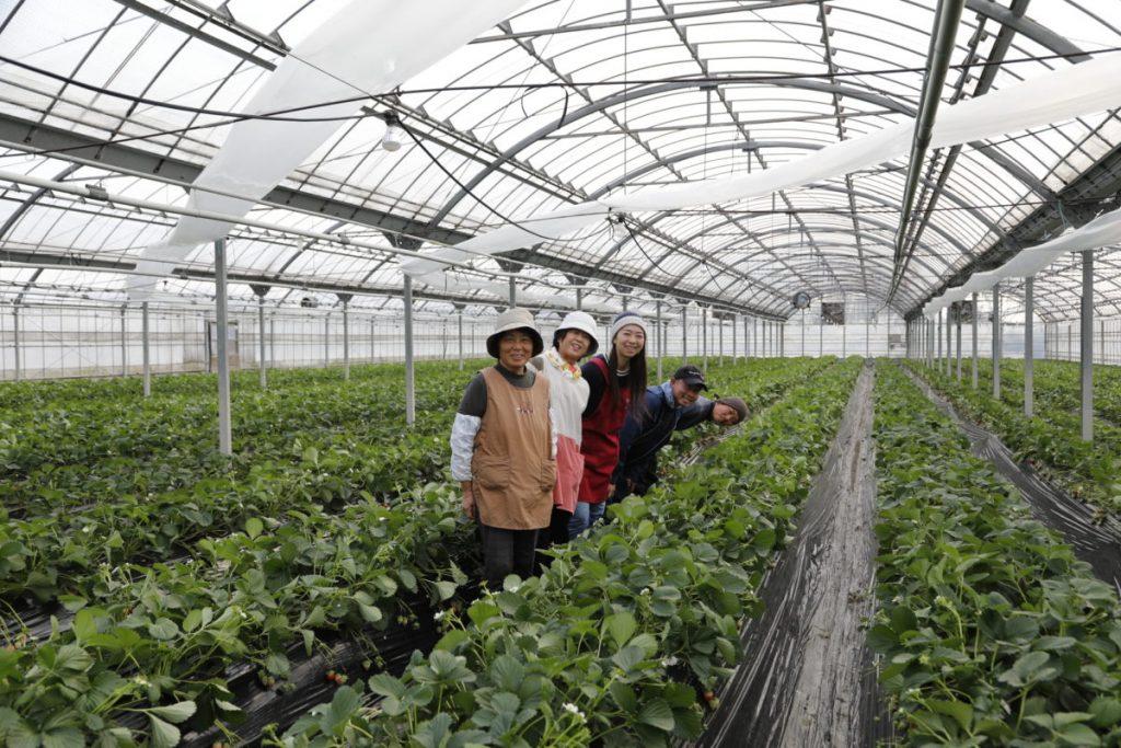 摘んでも摘みきれない! 日本最大級の観光いちご農園。