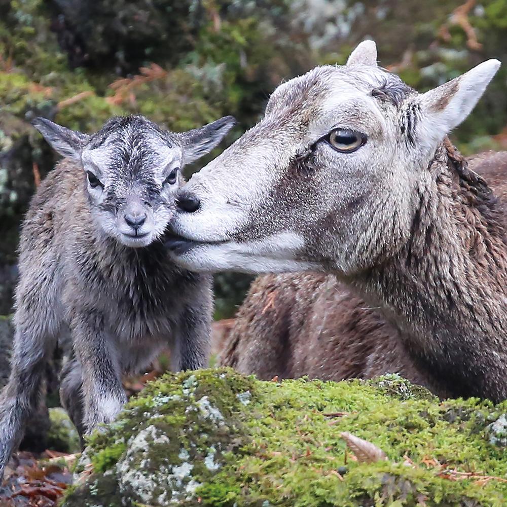 mouflon-5atari