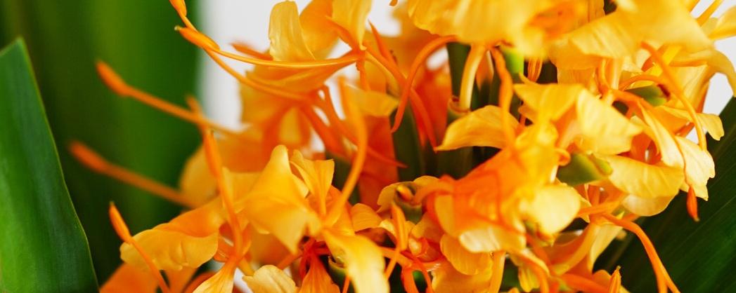 夏の暑さに負けない花・ジンジャーを飾って元気チャージ。