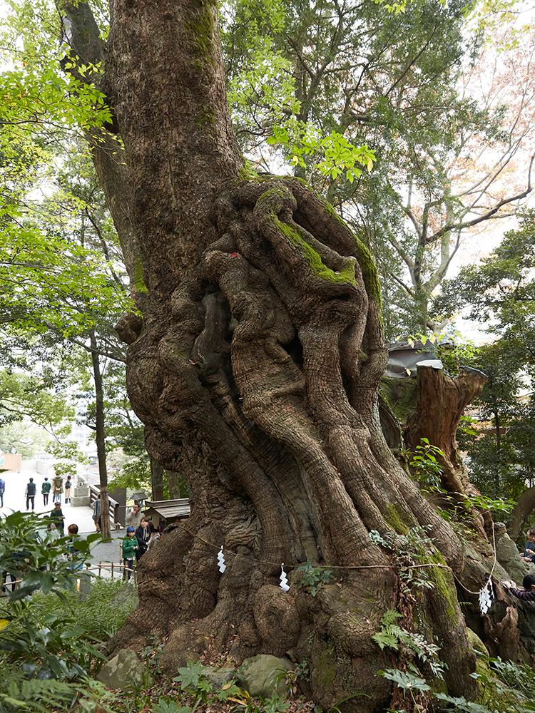 生命力がみなぎる大楠。幹を1周まわると寿命が1年延びる、願い事が叶うという伝説が。