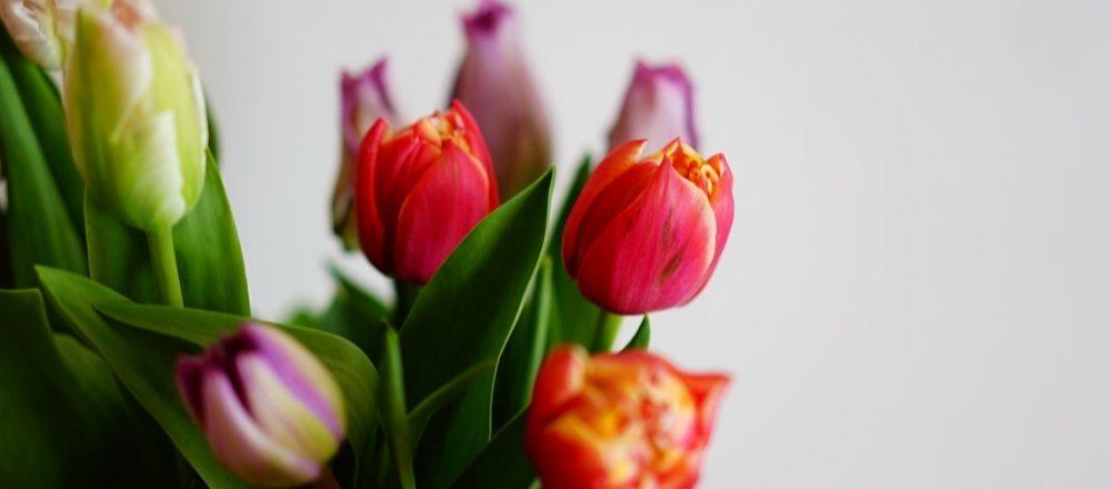 春の花壇を彩る愛らしいお花・チューリップのお話。