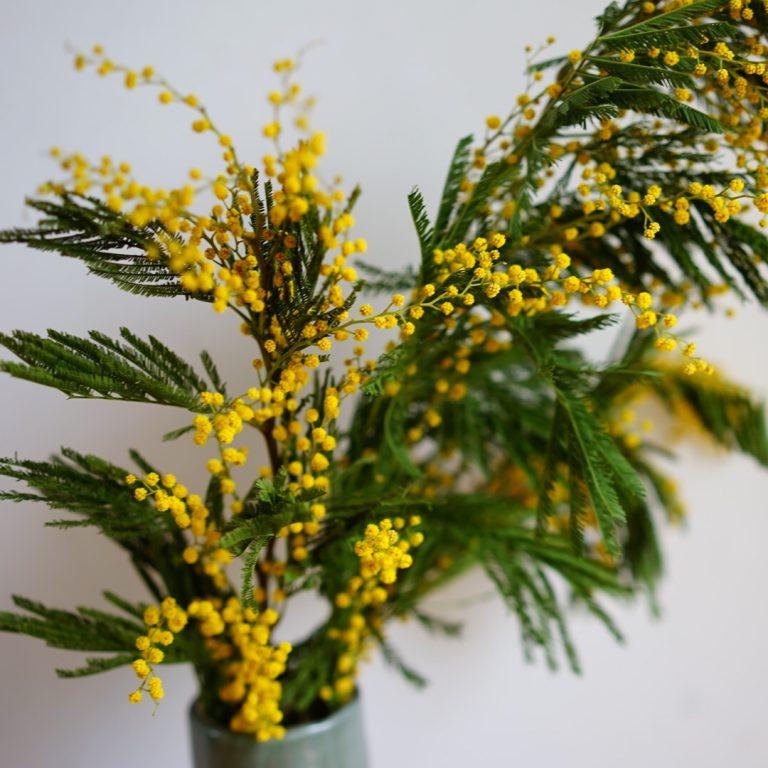 春の訪れを告げる可憐なお花「ミモザ」の楽しみ方。