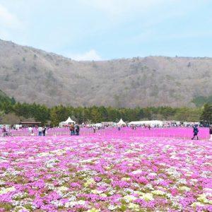 80万株の芝桜と世界遺産・富士山との共演が美しい『富士芝桜まつり』レポート!!