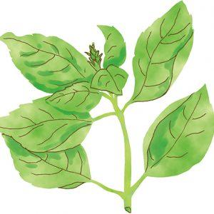 ネクストパクチーはどれ?エスニック料理作りでおさえたいアジアのハーブ・野菜12。