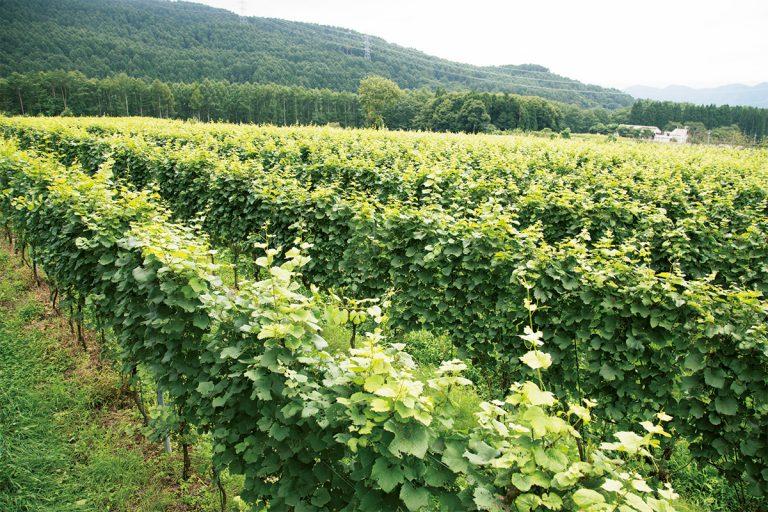 「標高の異なる土地があるから、最適な品種を植え分けられる」と佐藤さん。9月末頃からの収穫を待つピノ・ノワール種の葡萄畑の向こうには北信五岳の山々が連なる。