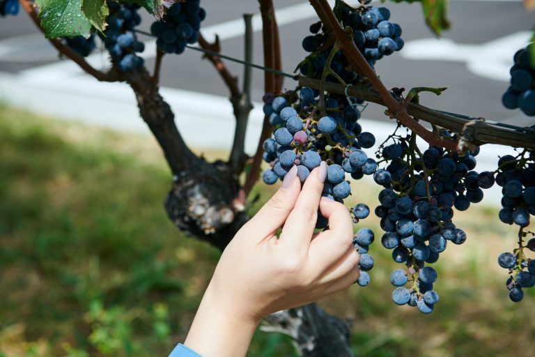 プレミアムツアーでは特別にワイン用ブドウを試食。