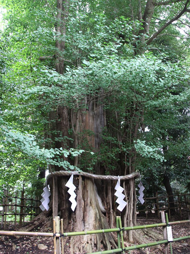 """本殿の裏にある立派な御神木は、樹齢1,000年を超える大イチョウ。""""産後の肥立(ひだ)ちが良くなる""""ご利益があるといわれる。MARIKOさんも「パワーがもらえる」と話すお気に入りの場所だ。"""