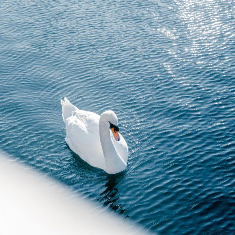 皇居のお堀で偶然出会った白鳥。