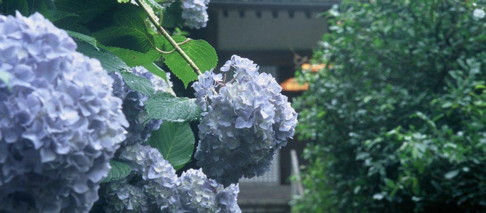 【鎌倉】あじさい名所の神社&お寺7選!あじさいが咲き乱れる幻想的な空間に癒されて。
