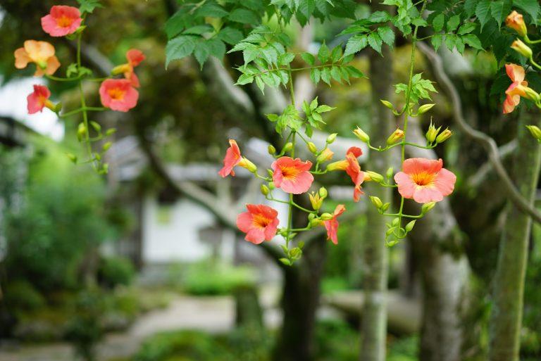 鎌倉の花の寺〈海蔵寺〉の夏