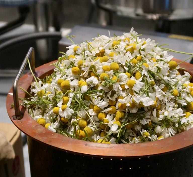 取材時の季節のボタニカルは岐阜県大垣から届いたフレッシュな「カモミール」。加えると甘美な香りのジンになります。