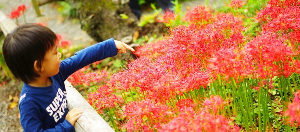 一面に彼岸花が咲き誇る鎌倉〈英勝寺〉へ。旬のお花がより愛おしく思う家族の時間。
