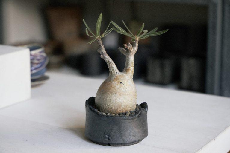 珍奇植物として一番人気のパキポディウム・グラキリス25,000円。マダガスカル原産のため特に日光を好む。いずれも鉢つき。