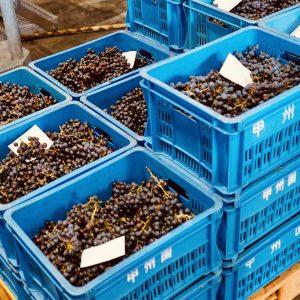 1本の樹から1kg=単純計算で1本分のブドウが収穫できます。このコンテナ1つで約10kg。