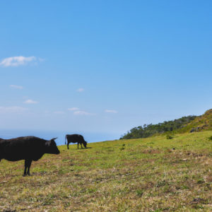 放牧された牛の自然体な姿が見られるのも魅力的。