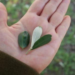 お目当ての葉ではないけど、変わったハート型の葉と葉脈が2本入った葉を発見。