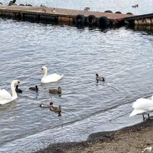 山中湖で見かけた白鳥。