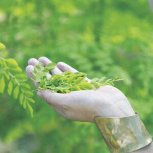 枝も葉も花も種も根も、すべて食べられる栄養豊富な植物、モリンガ。柔らかな葉は、食べるとピリッと辛い。