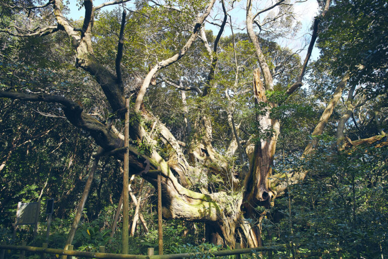 スダジイの巨樹「迷子椎(まいごじい)」。