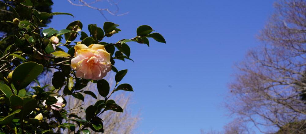 春のお花「椿」を楽しむ。10年後の未来も守りたい、季節のお花についてのお話。