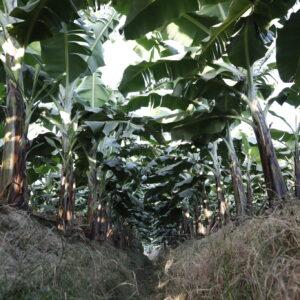 バナナ農園内の排水路は、あえて除草しないことで土壌流出を軽減している。