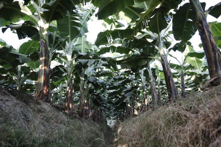 バナナ農園内の排水路には土壌流出防止で草を植える_HA_0087