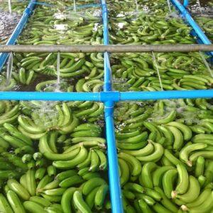 樹液(ラテックス)を洗い落すため、収穫されたばかりの緑色バナナは、水を張った大きなタンクの中に入れられます。