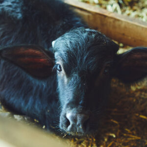 水牛舎では現在、30頭の牛を飼育。ミルクはモッツァレラチーズに加工される。