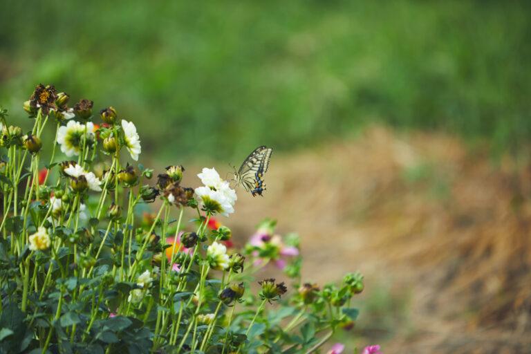 カフェなどで使用するエディブルフラワーも栽培。
