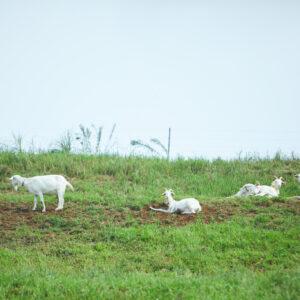 ストレスフリーな環境で飼育されるヤギのミルクは、チーズ工場でラルーナという風味豊かなチーズに加工される。搾乳してすぐにつくられるため、味わいは抜群にフレッシュ。