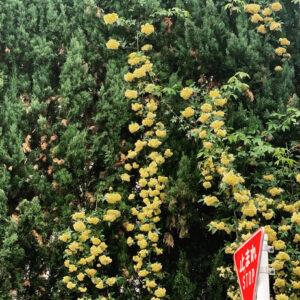 生い茂る木からもふっと溢れる花