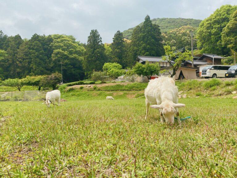 1m先にいるのに気にしないヤギたち。