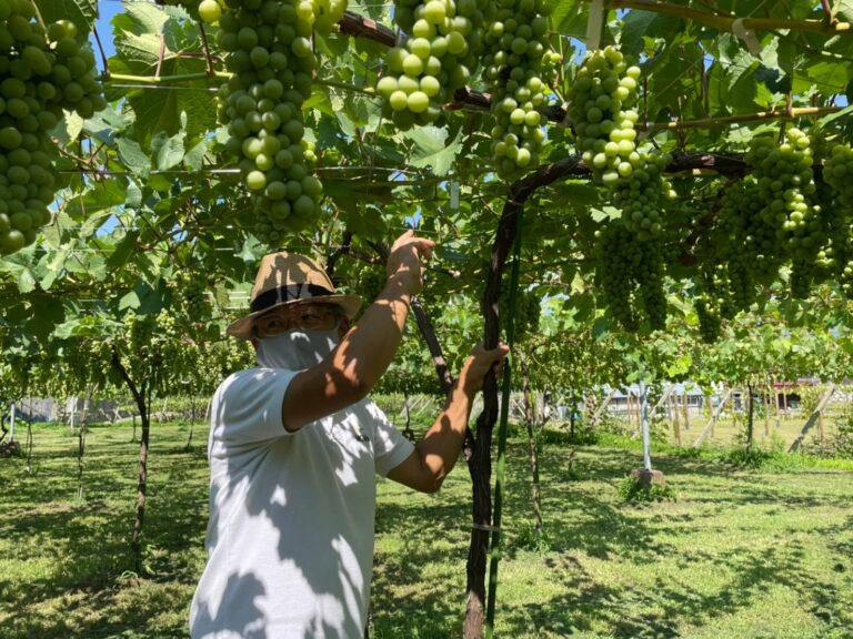 白ワイン用のふどう品種「甲州」の畑。ご案内いただいたのはオーナーの松坂浩志さん