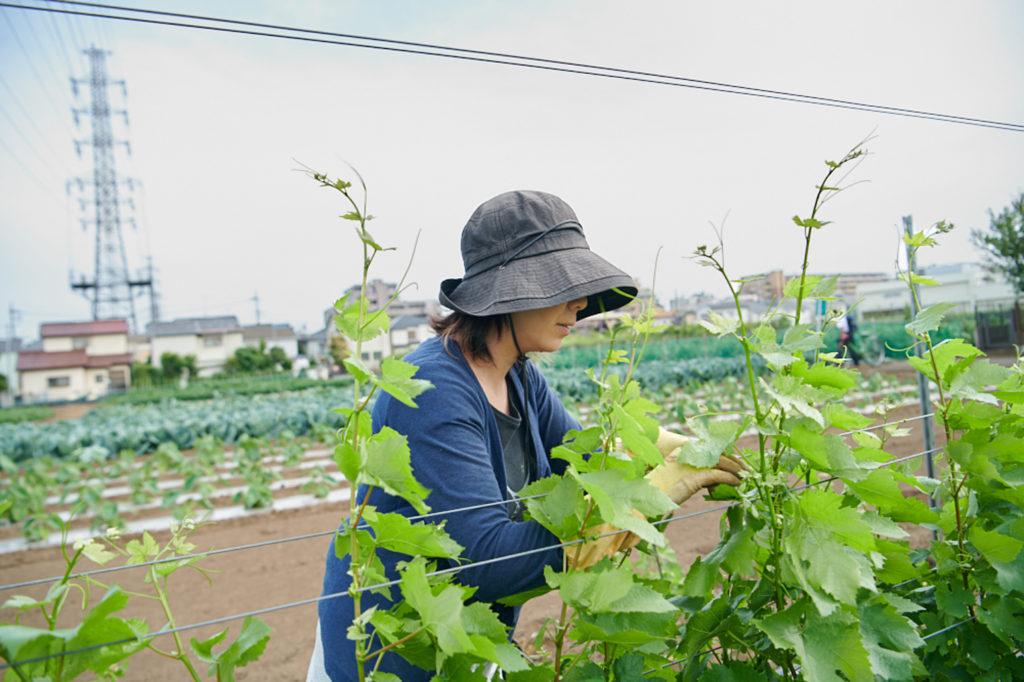 練馬区内の畑で、越後屋さんもぶどうの栽培のお手伝いをしています。お店の常連さんが農作業を手伝ってくれることもあるそうです。