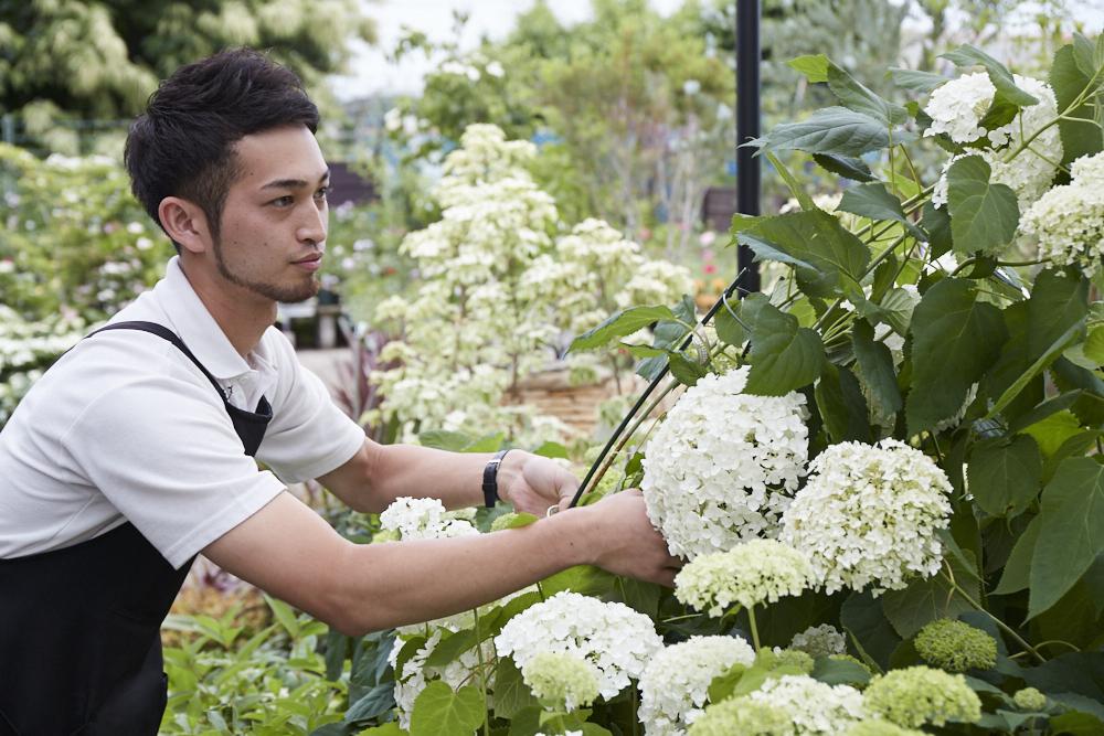 初夏に真っ白な花を咲かせるアナベルを手入れする難波さん。「アジサイの一種で栽培も比較的簡単。とても人気のある品種です」。