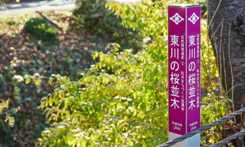 所沢市内を東西に流れる東川(あずまがわ)。所沢市西新井町から東所沢に至る全長 5.4kmの川沿いに、計707本もの桜並木が続いている様子は壮観です。「ところざわ百選」にも選ばれ、所沢の桜の名所として知られています。