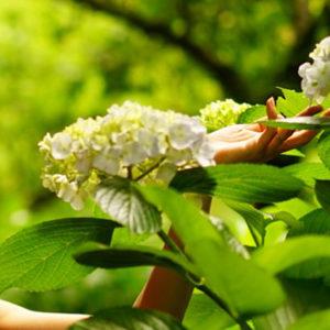 此刻正值繡球花盛開季節!在鐮倉推薦哪處賞花名勝?
