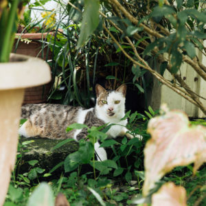 【column】有花有貓還有鳳梨雞——走進屏東祖傳三代的「有機鳳梨農場」